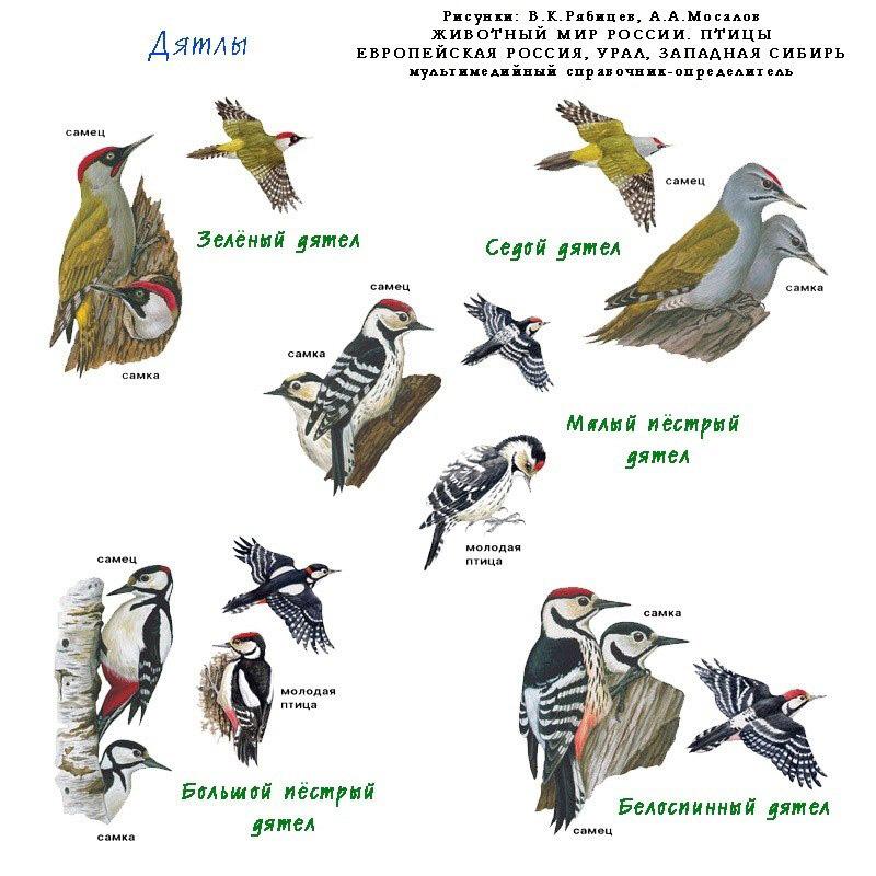 индексом отличаются картинки птиц сибирских лесов с описанием торт
