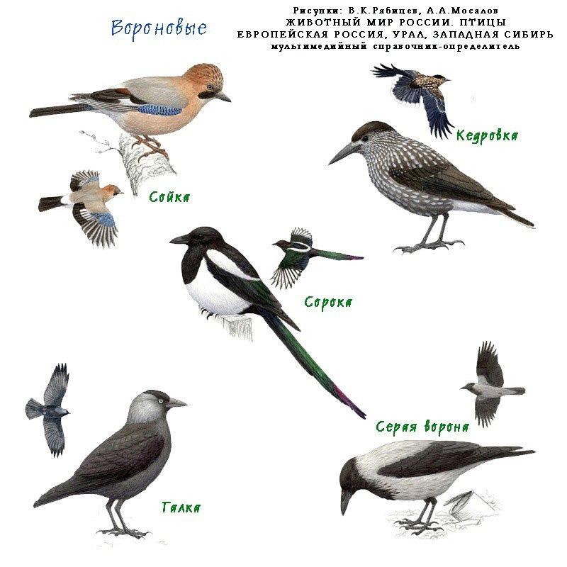 обусловлено тем, птицы россии фото с названиями и описанием как будет клевать