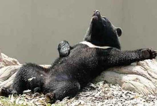 Панды фото смешные
