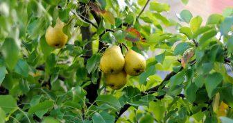 Обрезка груши осенью для начинающих в картинках (8 фото)
