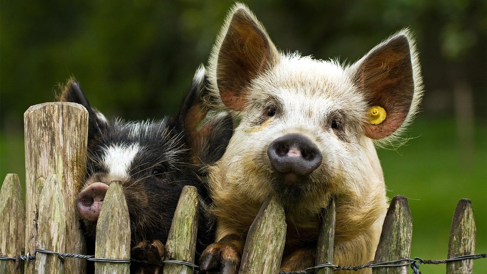 картинки с изображением свиньи на рабочий стол пуговкой