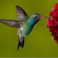 Красивые картинки колибри (35 фото)