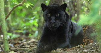 Красивые картинки пантера на рабочий стол (35 фото)