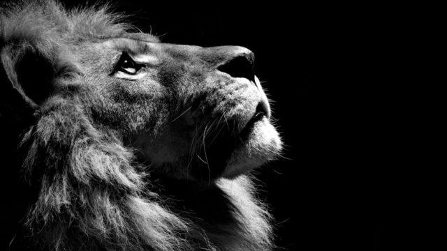 Фото красивые львы (31 фото) | 360x640
