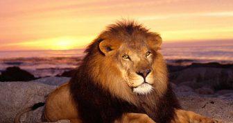 Красивые картинки львы на рабочий стол (35 фото)