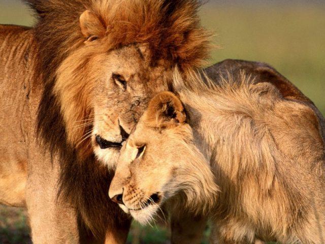 фото львицы и льва