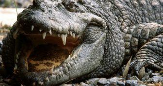 Красивые картинки крокодилов на рабочий стол (36 фото)