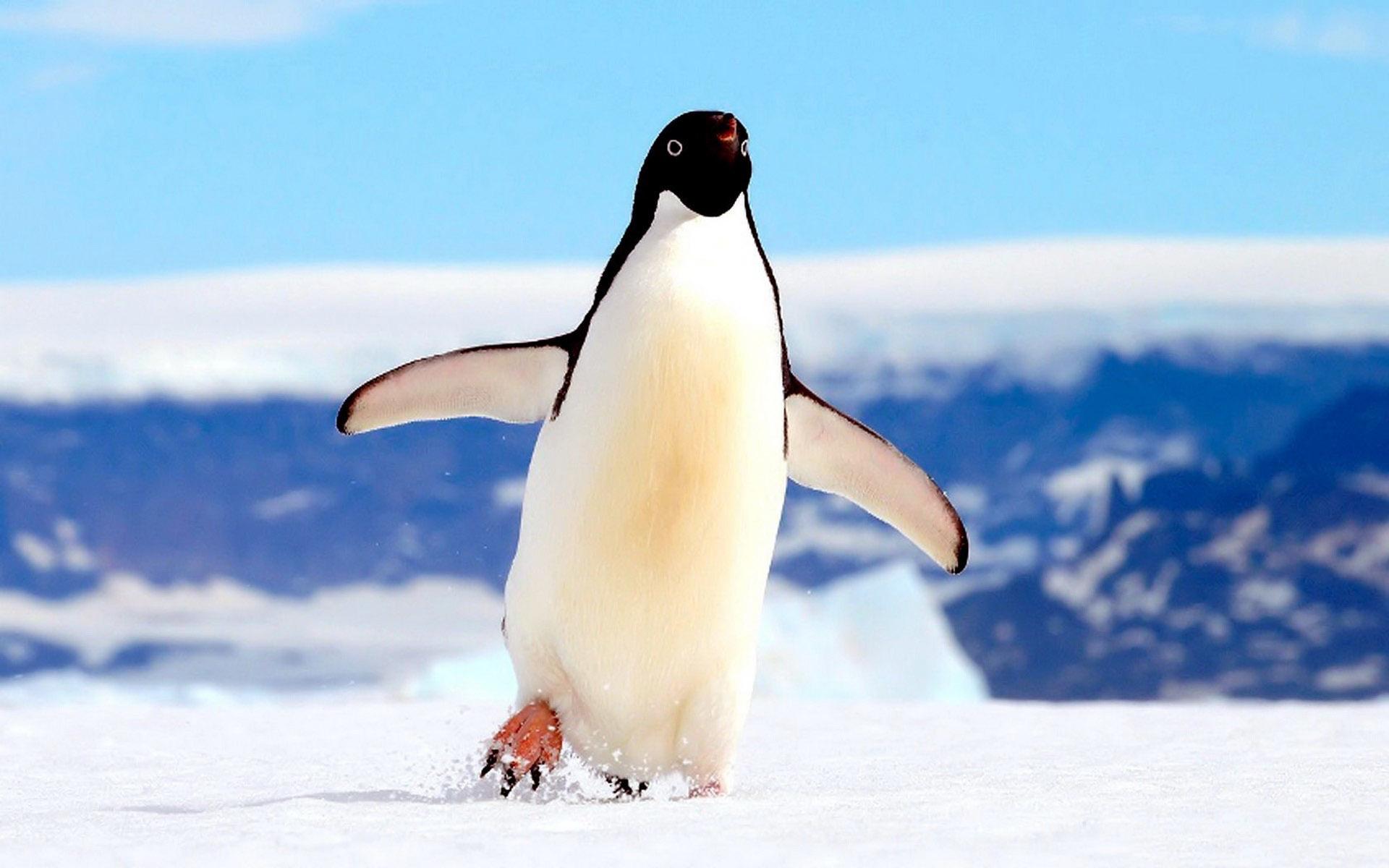 большей картинки про человека пингвина недоумевают, как