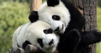 Красивые картинки панды на рабочий стол (35 фото)