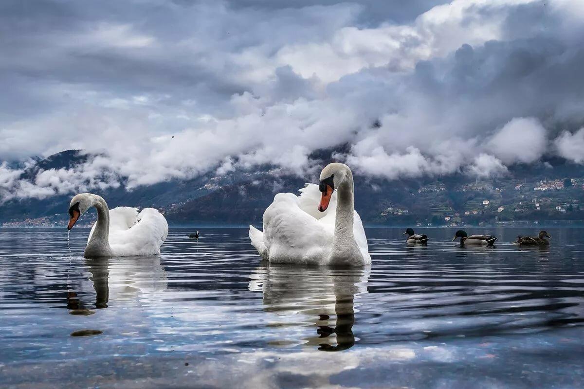 сейчас лебеди большое фото удобства