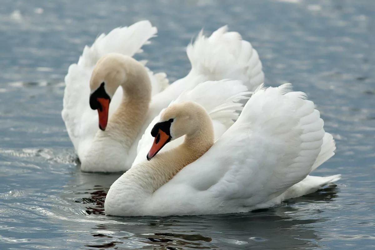хотя фото открытки лебедей тесно