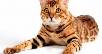 Фото бенгальские коты (35 фото)