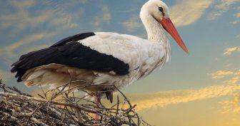 Птица Аист (24 фото)