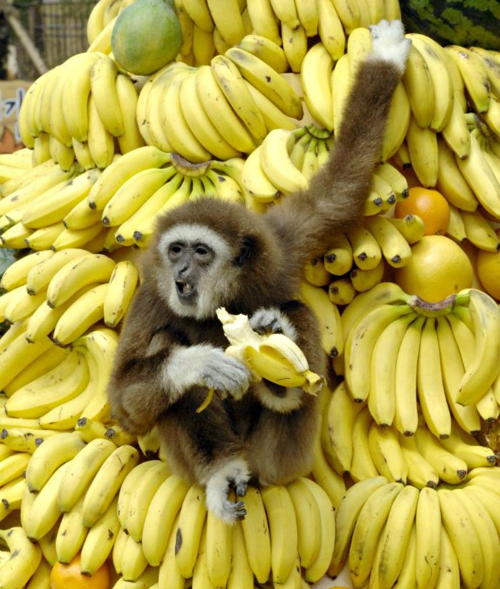 Обезьяна бананы картинки