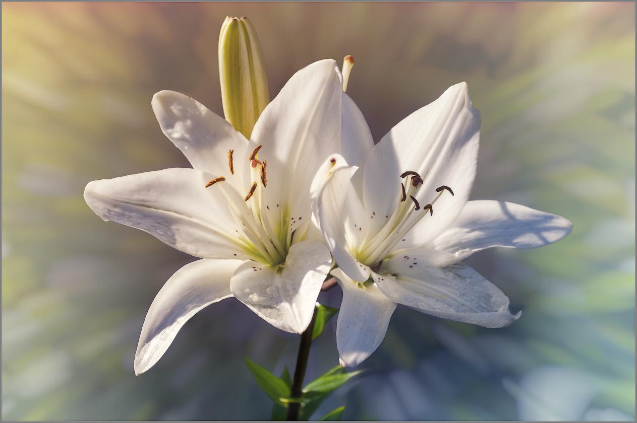 Лилия белая открытка