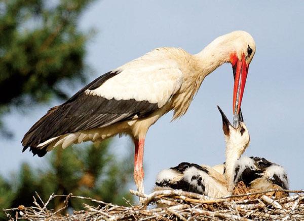 Птица Аист (24 фото) 🔥 Прикольные картинки и юмор