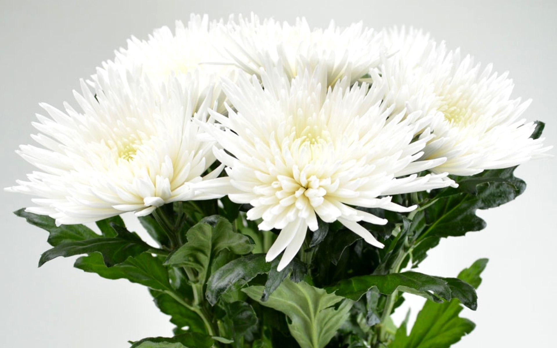 Красивые картинки с днем рождения с хризантемами