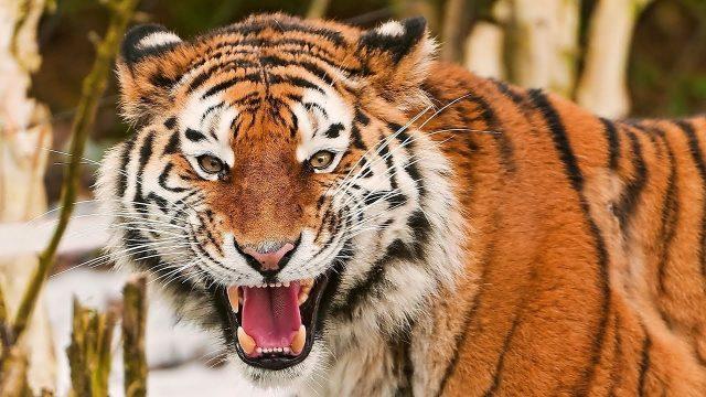 Фото тигры с тигрятами