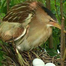 Картинки выпь птицы (19 фото)