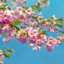 Картинка цветущая вишня (29 фото)