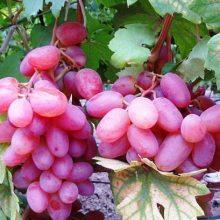 Картинки виноград (29 фото)
