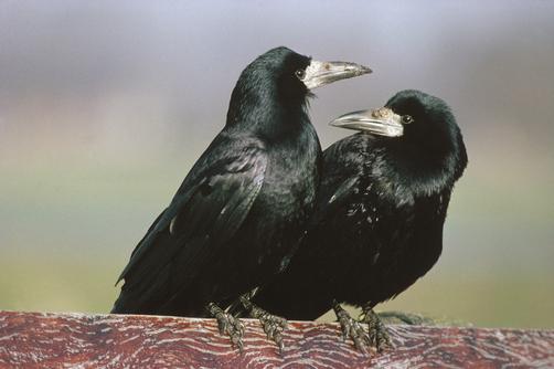 Обои Портрет черной вороны на темном фоне by Brevisart