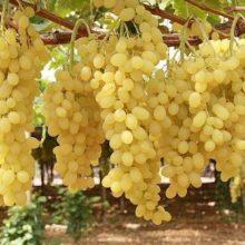 Картинки виноградная лоза (25 фото)