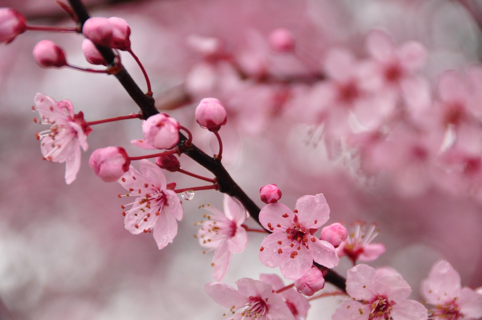 Красивые картинки с веткой сакуры