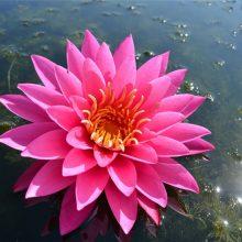 Картинки водяная лилия (36 фото)