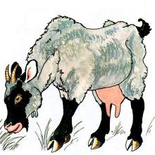 Картинки для детей коза (14 фото)