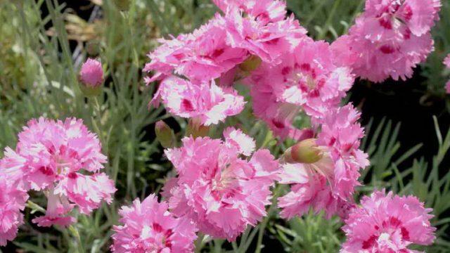 Gvozdika peristaya mnogoletnyaya posadka i uhod foto Dianthus plumarius