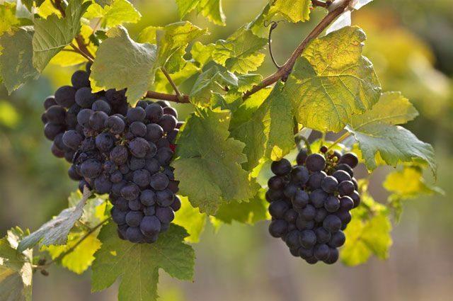 Картинка виноград нарисованная