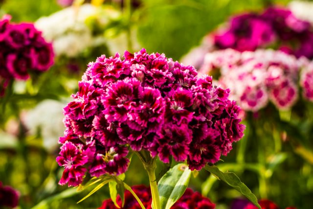 the best flower carnation 1