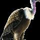 Картинки птица гриф (26 фото)
