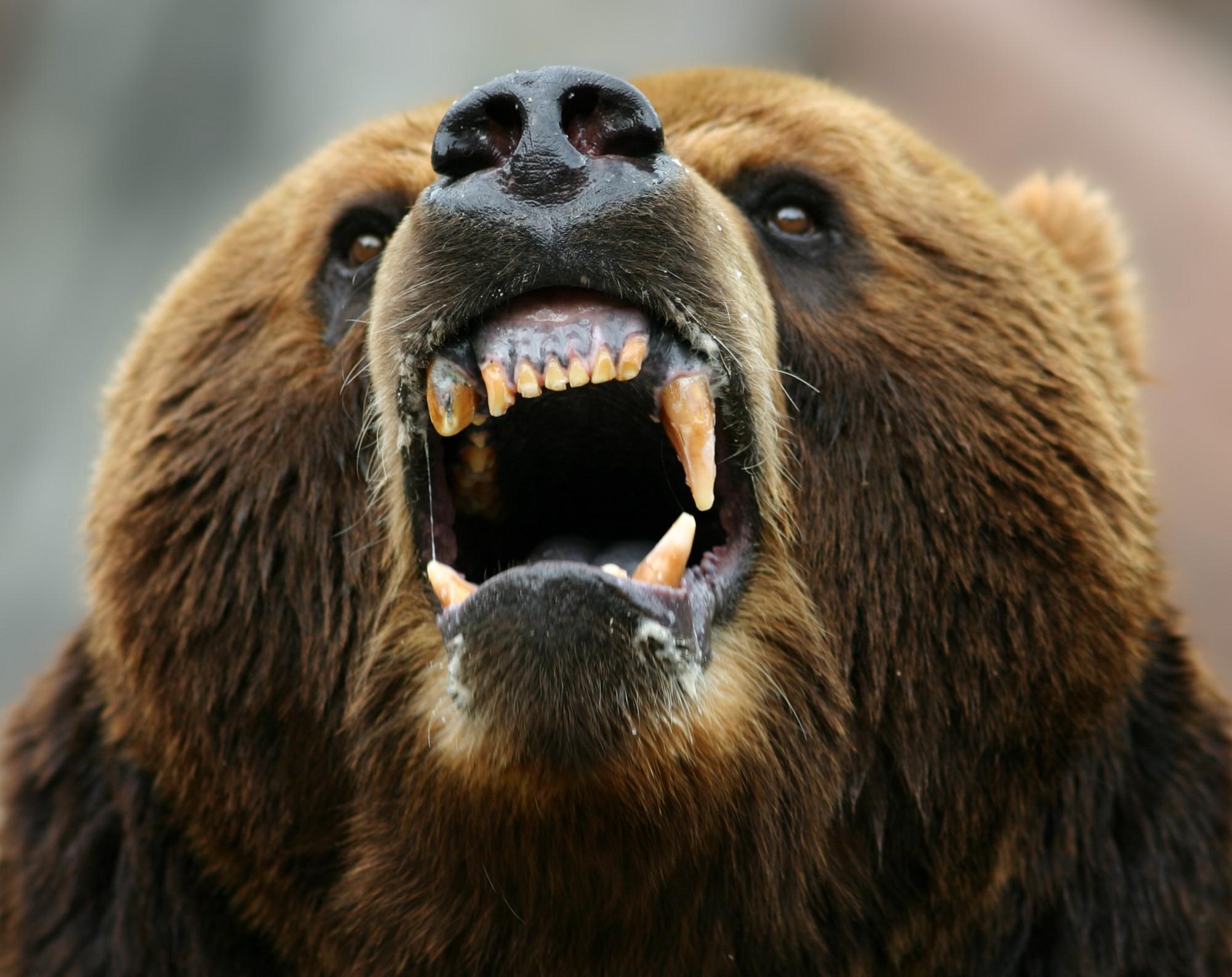 бурый злой медведь картинки удалось сохранить, хотя
