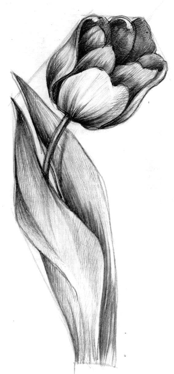 более тюльпаны рисовать карандашом картинки один