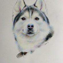 Рисунки хаски для срисовки (15 фото)