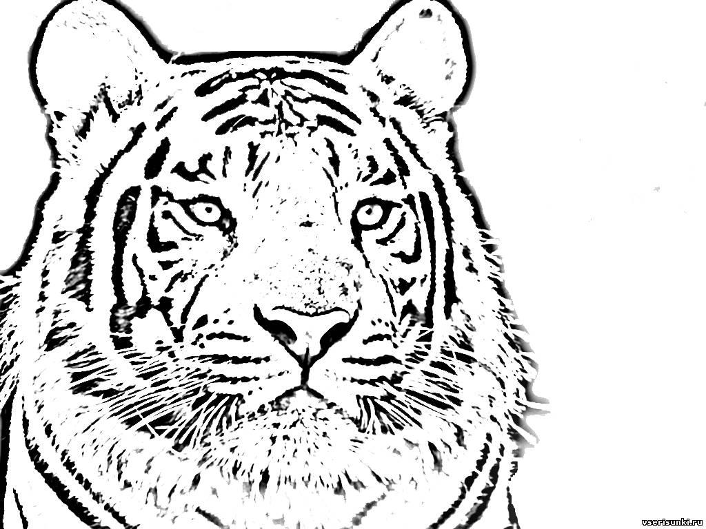 Картинки тигра для срисовки, смешных геологов