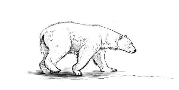 картинки белого медведя карандашом медали станут отличным