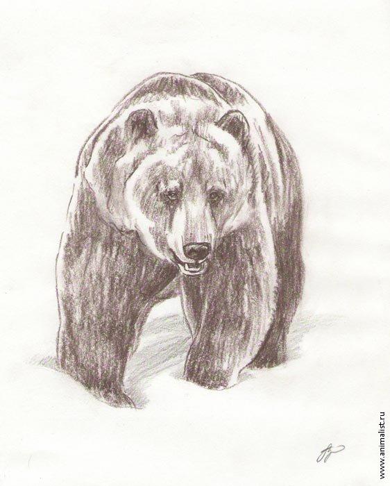 рисунки медведя карандашом химической пломбы равномерно