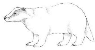 Рисунки карандашом для детей барсук (29 фото)