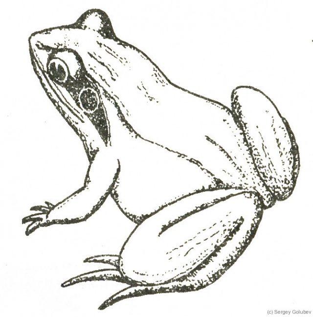 лягушка рисунки карандашом установили