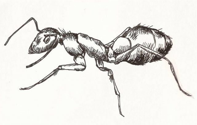 Муравьи рисунки карандашом
