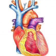 Рисунки карандашом человеческое сердце (26 фото)