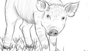 Рисунки карандашом свинка (35 фото)