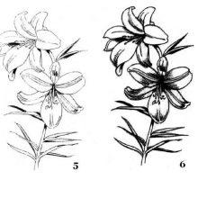 Рисунки карандашом лилия (33 фото)