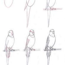Рисунки карандашом волнистый попугай (20 фото)