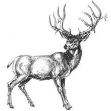 Красивые рисунки оленя карандашом (34 фото)