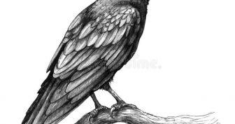 Рисунки карандашом ворона (28 фото)