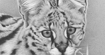 Рисунки диких кошек карандашом (29 фото)